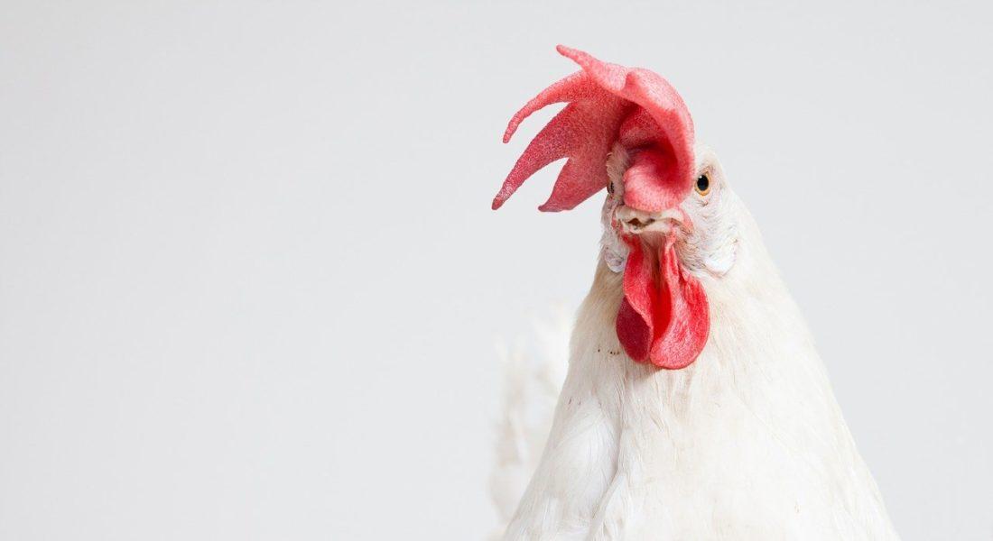 I galli disturbano? Si rischia il carcere