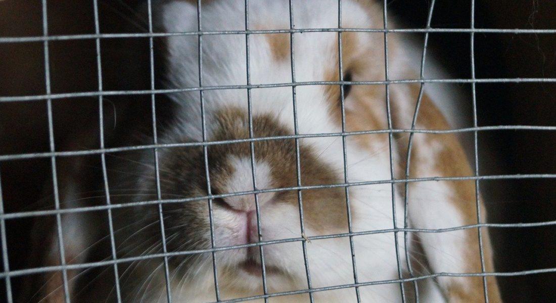 Migliorare la vita dei conigli da allevamento: l'Efsa fornisce le indicazioni