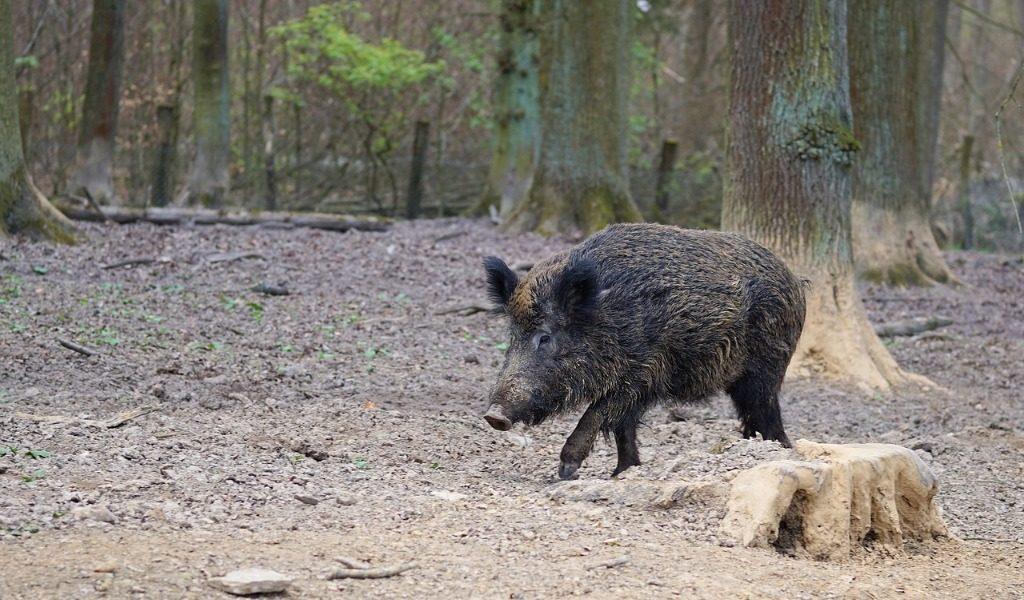 Danni causati da animali selvatici: è responsabile la Regione