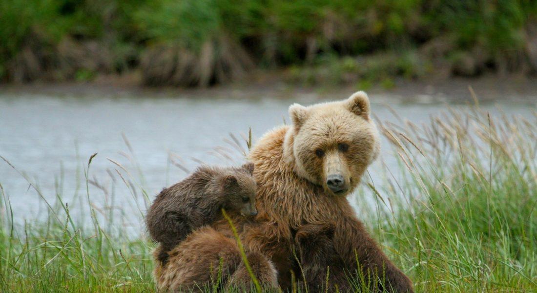 mamma orsa investita