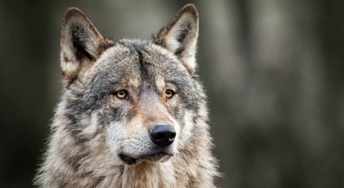 uccide un lupo
